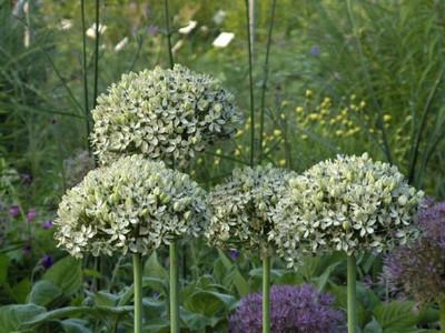 Allium nigrum .JPG