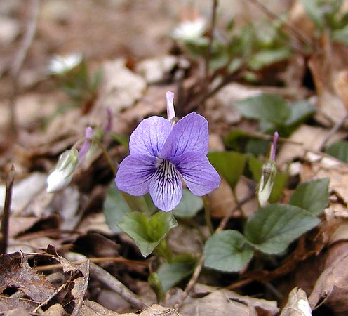 Long-spurred violets are coming out along Chestnut Top Trail Viola rostrata  Violaceae GSMNP TN 2008