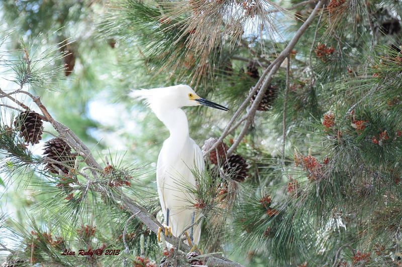 Snowy Egret - 4/27/2013 - Imperial Beach Sports Park