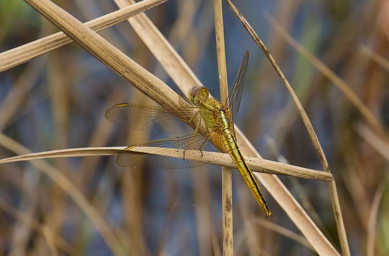 Scalet Skimmer (Crocothemis servilia), female, Loxahatchee NWR