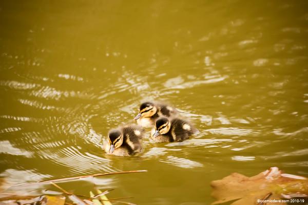 Ducks - Set 6