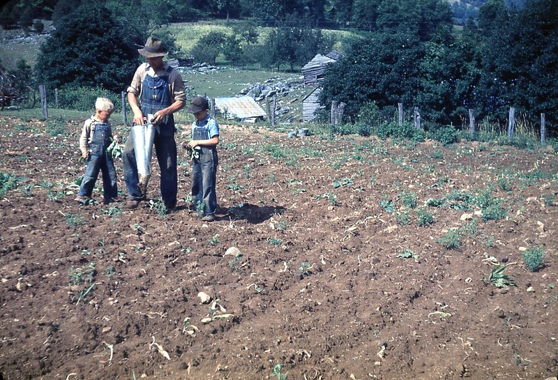 1947 Planting tobacco scene