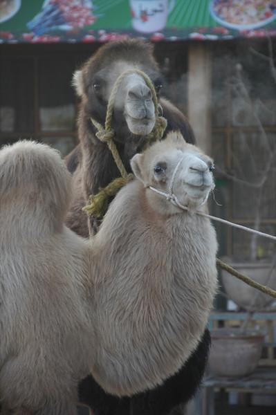 Kashgar Animal Market: Two Animals - China