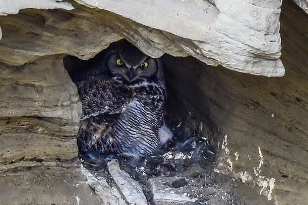 4-18-15 Great Horned Owl - Cave Nest Update