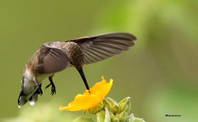Humming bird 5-26-15 309.jpg
