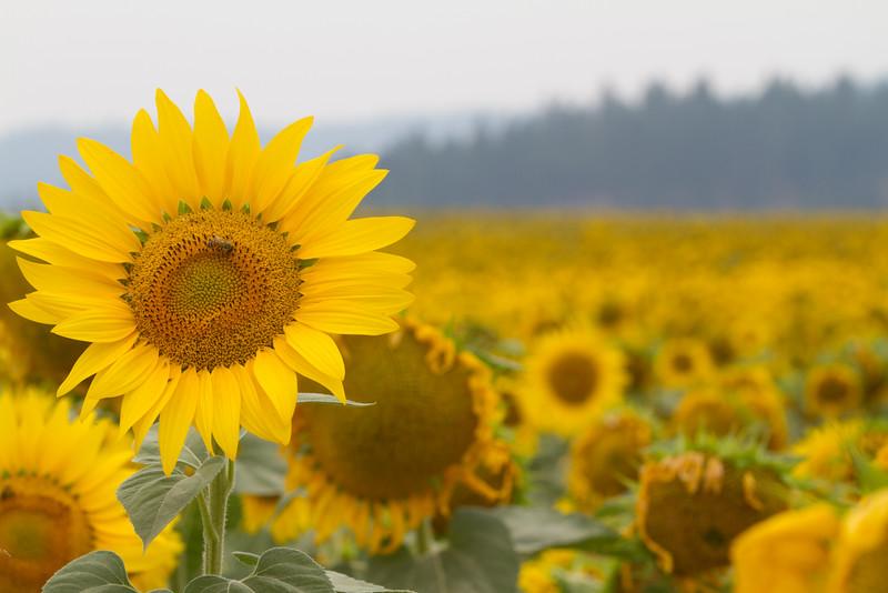 sun flowers-3889.jpg