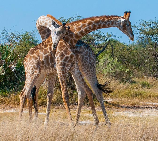 Giraffes-7.jpg