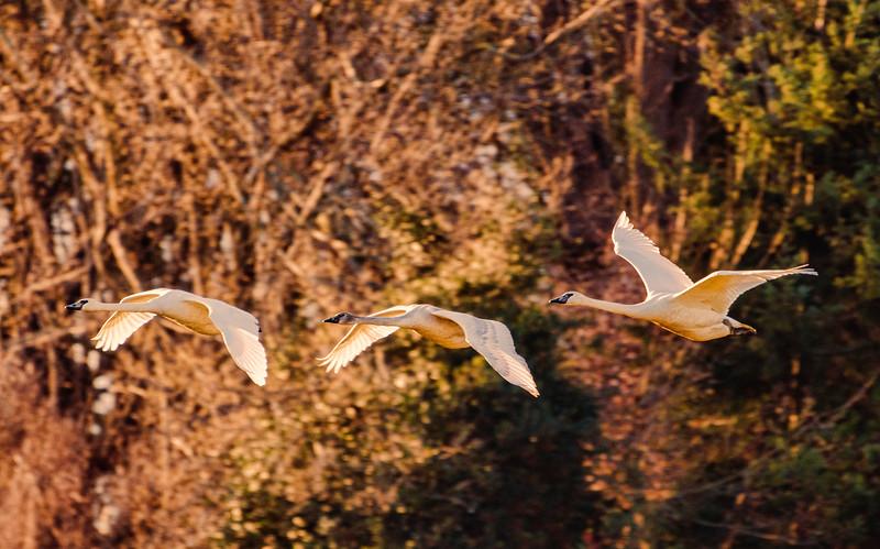 Snow Goose II 298-Edit.jpg