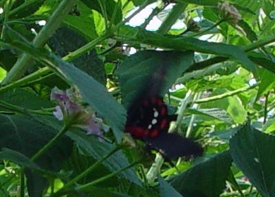 Butterfly 9b.jpg