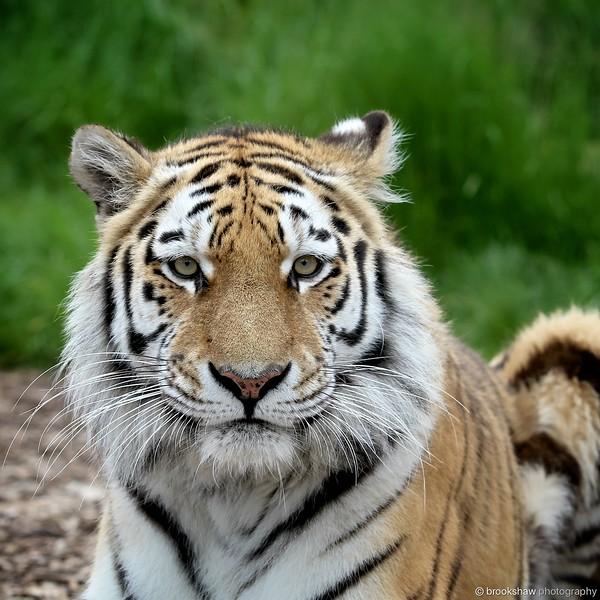 Tiger 004.jpg