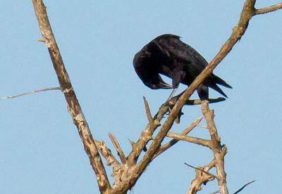 Molothrus oryzivorus - Giant Cowbird