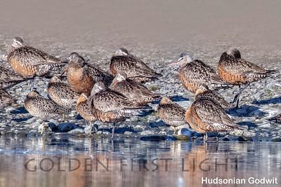 Hudsonian Godwit, Anchorage AK, USA