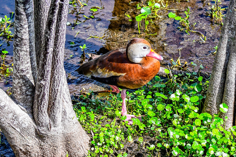 Black-bellied Whisling-Duck