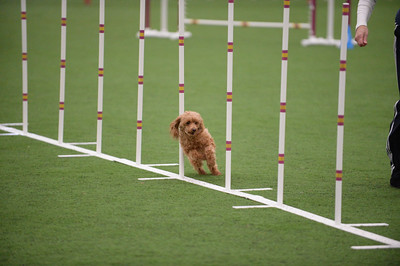 Dauphin Dog Training Club AKC Agility Trial April 10-12