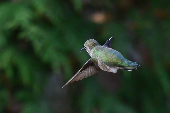 11 2012 Nov 6 Anna's Hummingbird