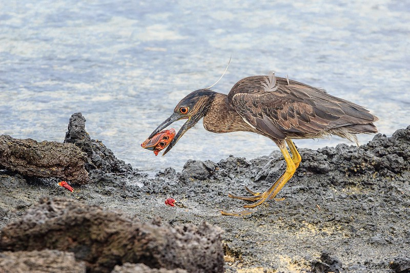 Heron and Sally-Go-Lightly Crab, Las Tintoreras