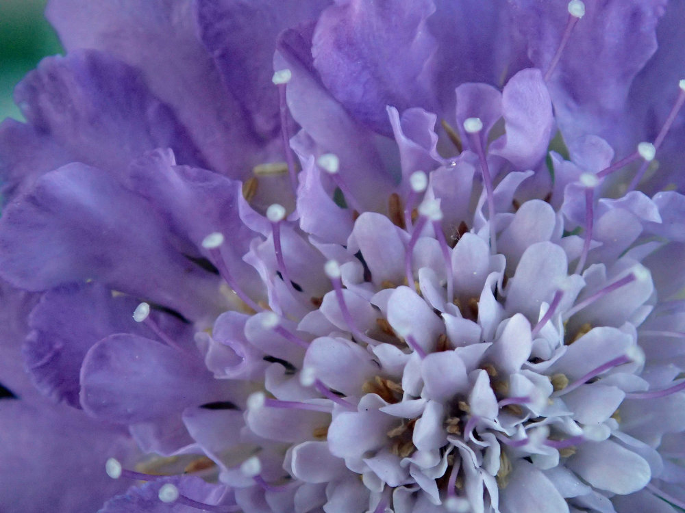 . Finalist: This detail of a pincushion flower shows exactly how the flower got its name.  (Photo by Carol McGowan/Submitted to The Denver Post for Growm Photo Contest 2014)