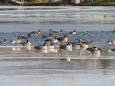 20141124 Canada Goose