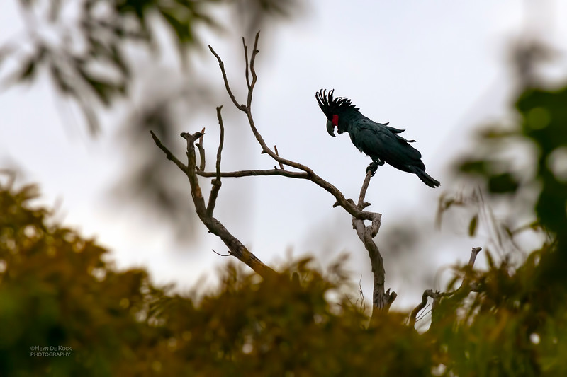 Palm Cockatoo, Iron Range NP, QLD, Dec 2009.jpg