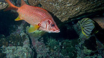 Giant Squirrelfish, Sargocentron spiniferum
