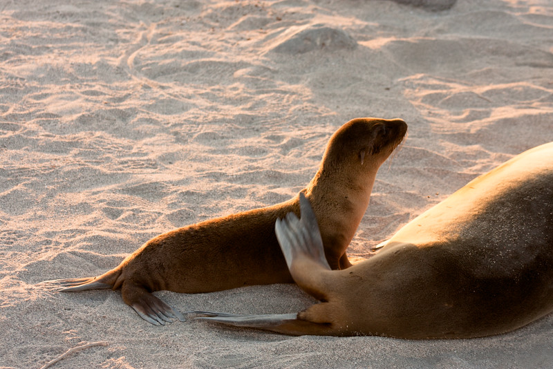 Journey into Baltra Island in the Galapagos Archipelago 38 Awake Sea Lion Pup