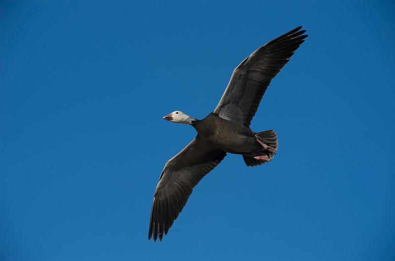 Snow Geese In-Flight 0831999