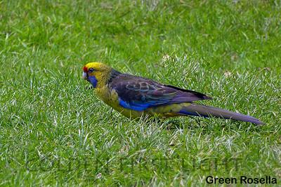Green Rosella, Australia