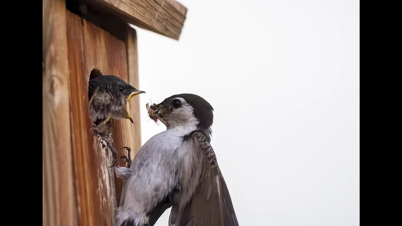 Swallows2020.mov