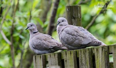 Dove, Collared