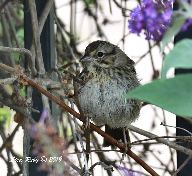 Juvenile Song Sparrow - 6/21/2019 - Backyard Sabre Springs