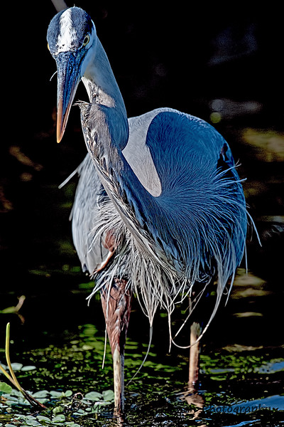 Great Blue Heron  #1008