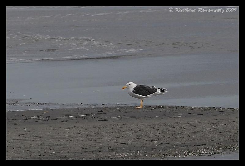 Yellow-footed gull record shot, visitor to Salton Sea, Salton Sea, Imperial County, California, November 2009