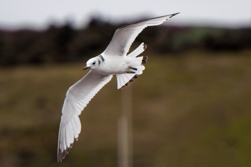 Black-legged Kittiwake - juvenile - Westman Islands, Iceland
