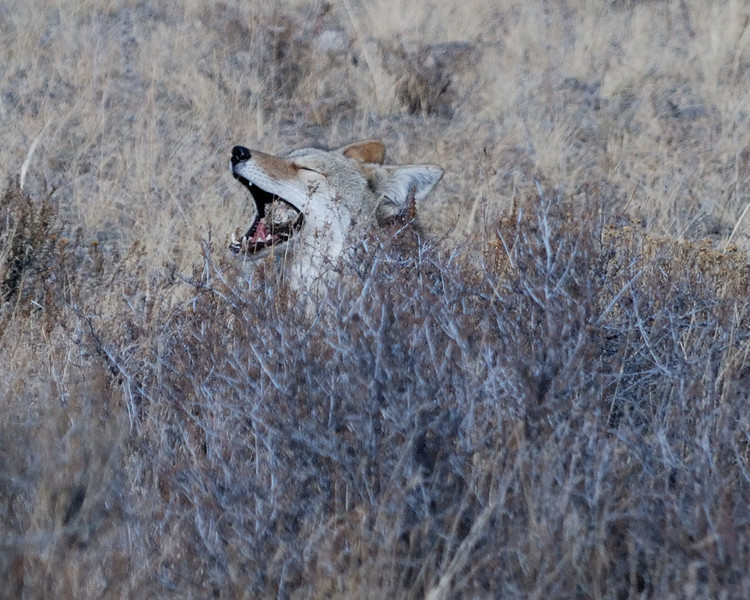 Coyote RMNP 122008 090.jpg