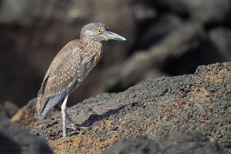 Yellow-crowned Night-Heron - Juvenile - Darwin Bay, Isla Genovesa, Galapagos, Ecuador