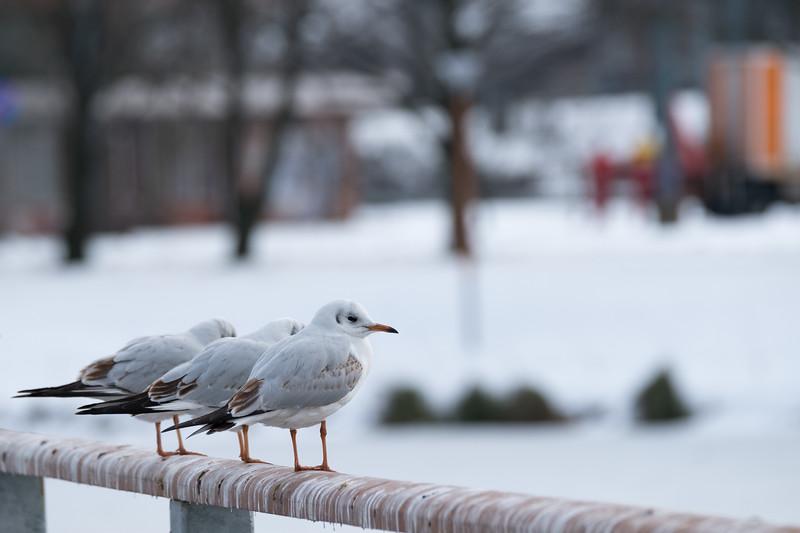 śmieszka | black-headed gull | chroicocephalus ridibundus