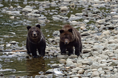 17-09-22  Grizzly & Two Cubs