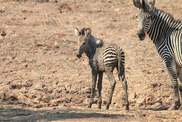 Zebra Kaingo Zambia 2013