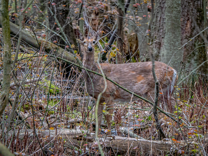 Momma Deer, can I go play in the woods?