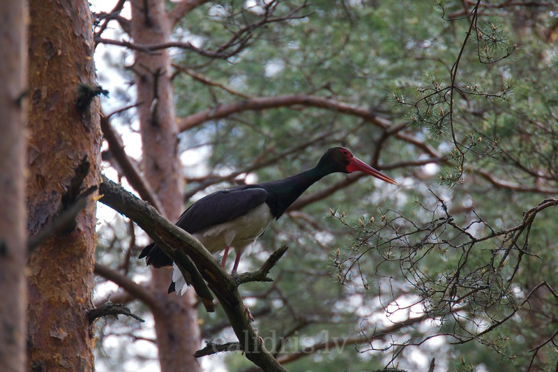 Black Stork on a perch