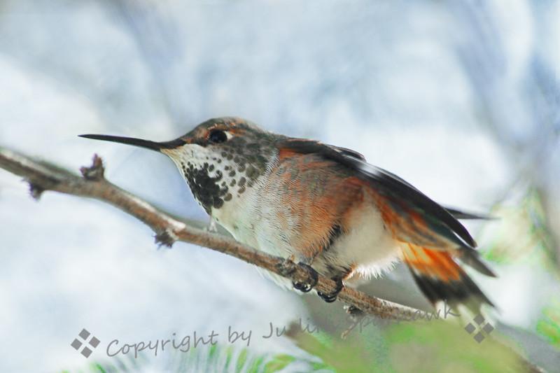Female Rufous Hummingbird.jpg