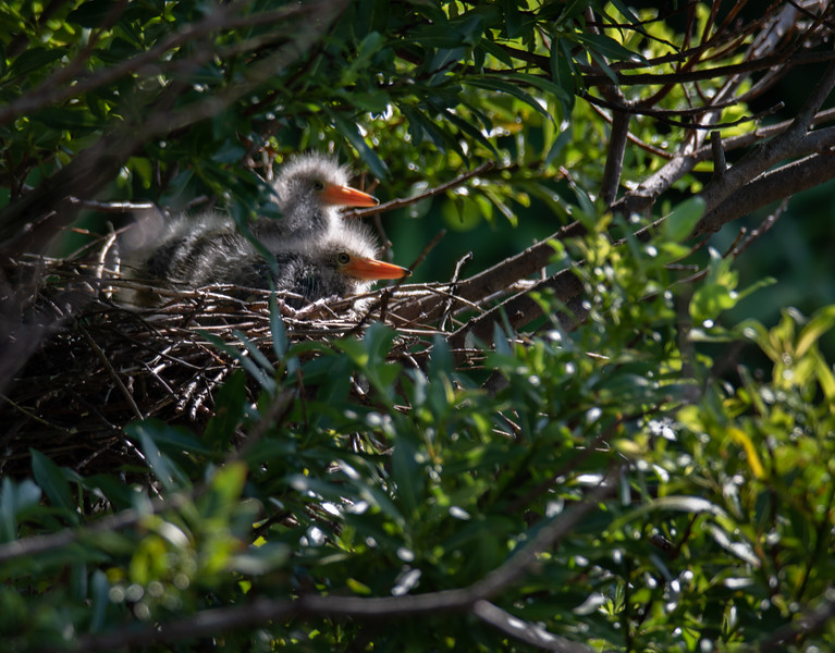 Green Heron baby chicks on nest
