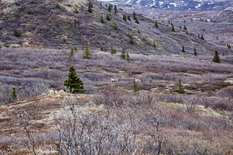 Heli Hiking Alaska Denali State Park Caribou