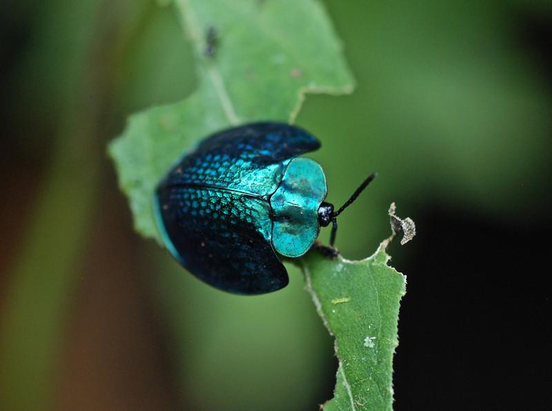 Beetle - Guyana