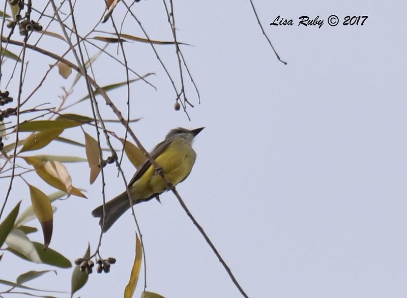 DSC_3549_Kingbird.jpg