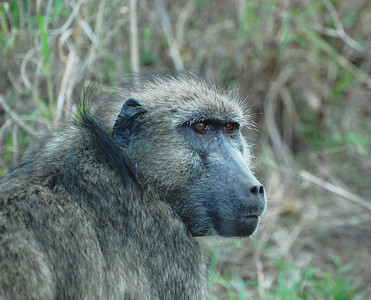 Kruger Chacma Baboons