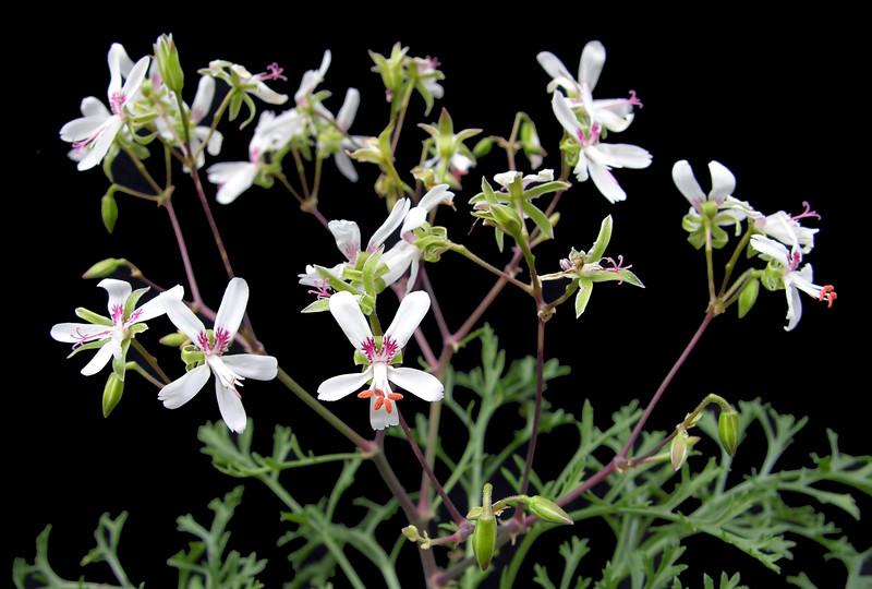 Pelargonium laxum flowers