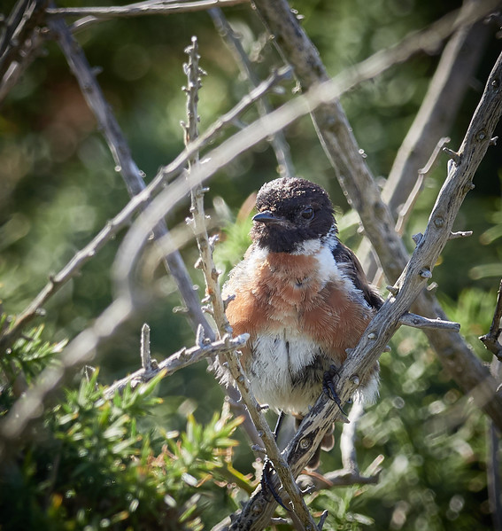 Stonechat Taking Cover