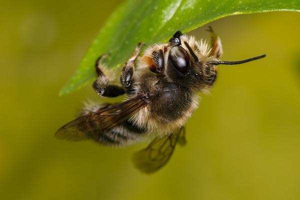 Megachile mucida