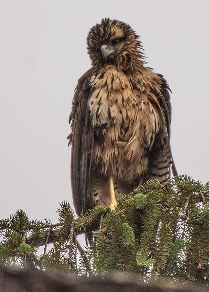 Great Black Hawk wistful